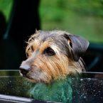 Comment assurer la sécurité d'un chien en voiture ?